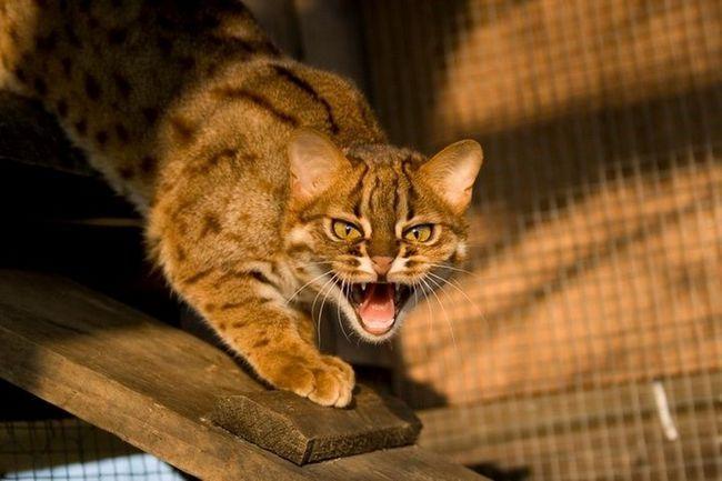 Плямисто-руда кішка (лат. Prionailurus rubiginosus)