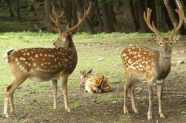 Влітку забарвлення плямистого оленя червоно-руда з білими плямами, а взимку його шерсть стає тускнее.