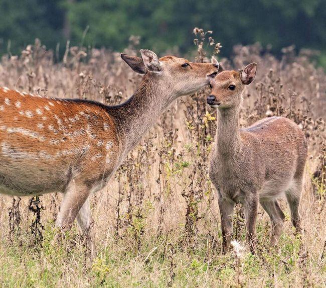 Плямистих оленів розводять на фермах заради пантів.