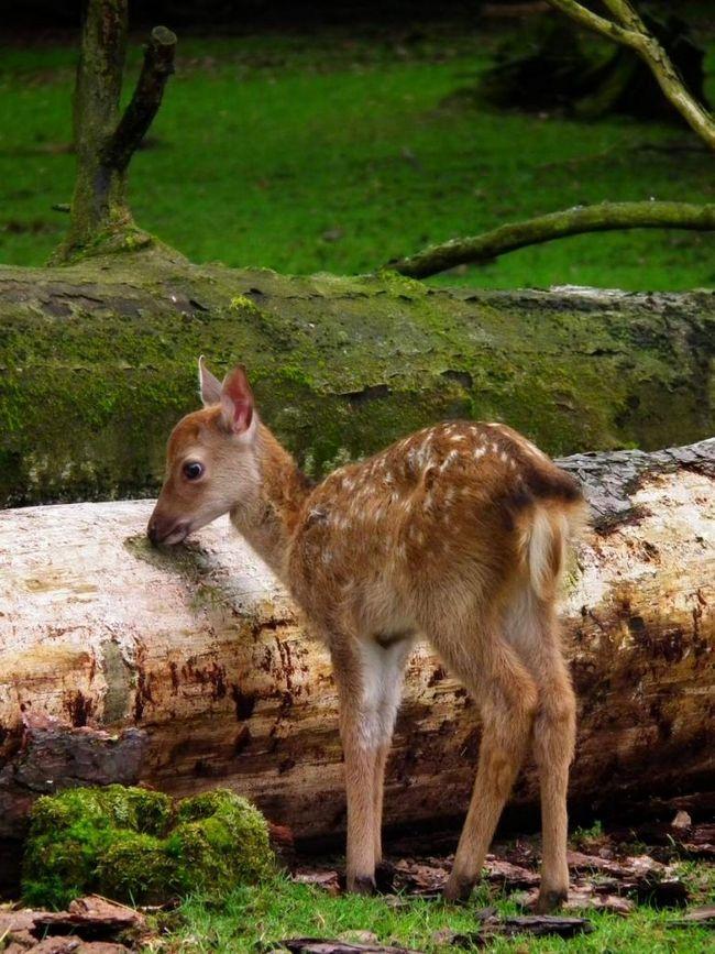 У плямистих оленів, особливо у новонароджених молодих, дуже багато ворогів-хижаків.