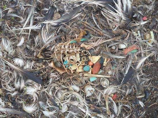 Дуже сильно страждають від пластикового сміття альбатроси.