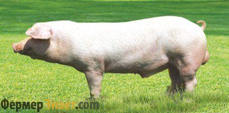 Плюси і мінуси змісту свиней породи ландрас
