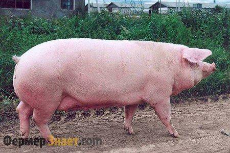 Свиня породи ландрас