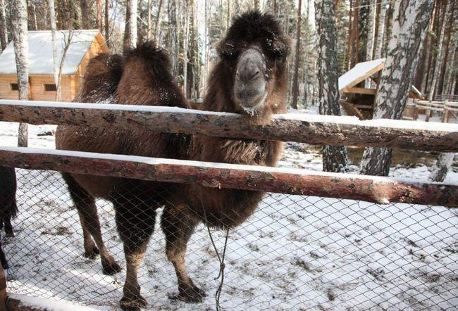 В Уфі із зоопарку втік верблюд.