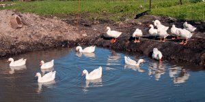 Потрібно стежити за чистотою водоймища для гусей