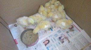 Чому курчата бройлери погано ростуть