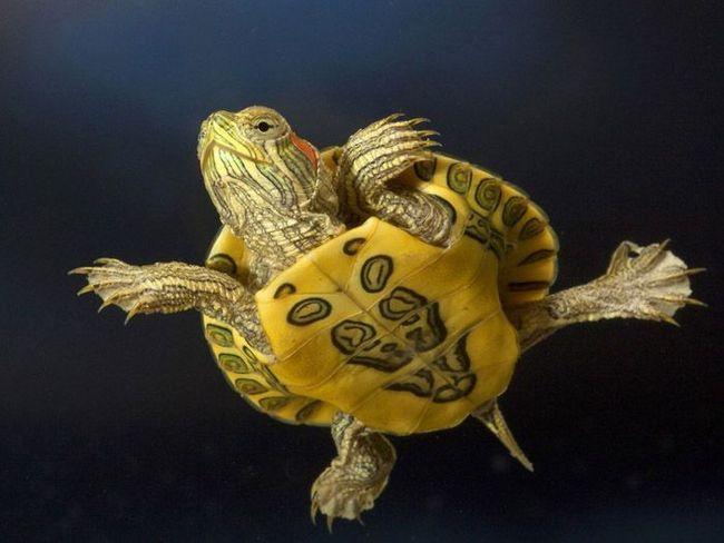 Черепахи - довгожителі серед рептилій.