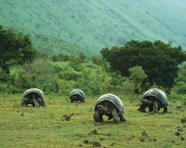 Слонячі черепахи.