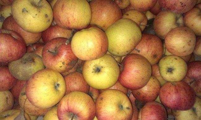 Чому гниють яблука?