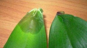 Чому гниють листя у орхідеї, і що з цим робити