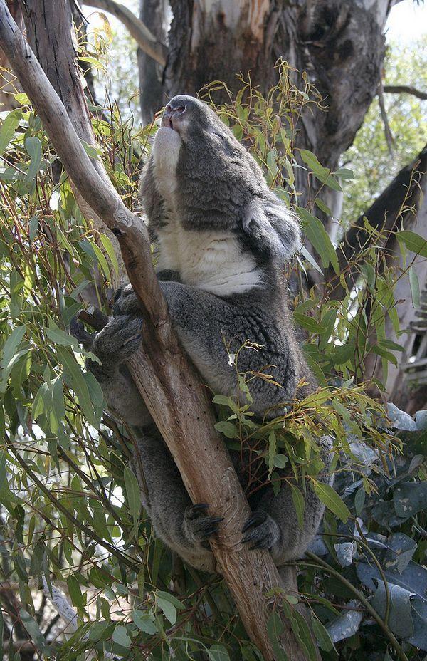 Самець коали, виконуючий шлюбну пісню