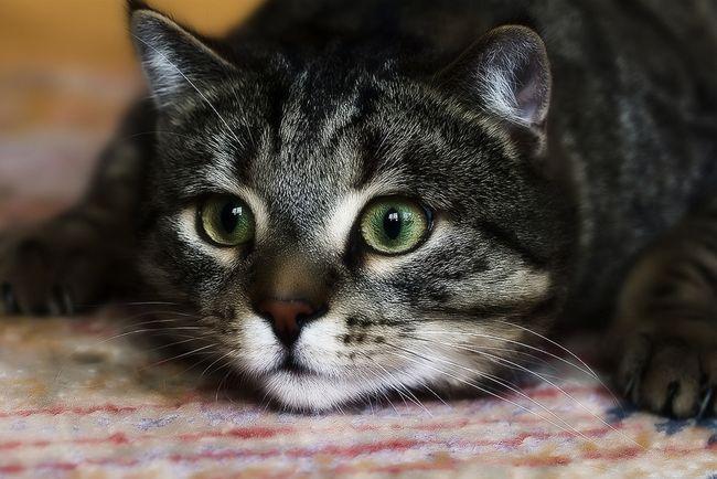 Чому кішка постійно свербить і лиже, якщо бліх немає