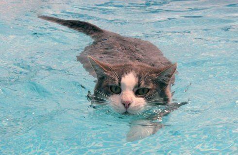 Чому кішки бояться води - історія, факти і висновки