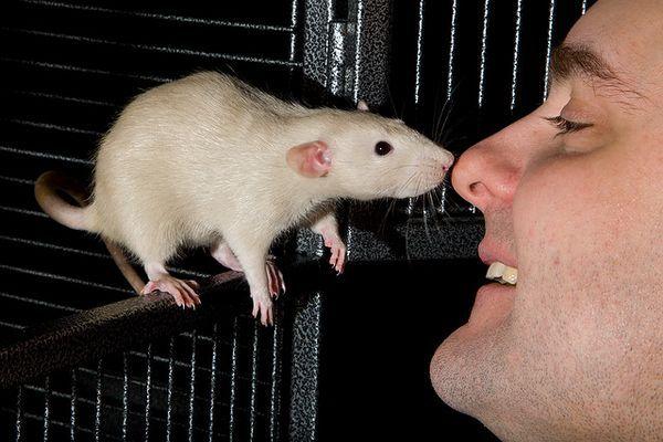Чому щури обнюхують один одного