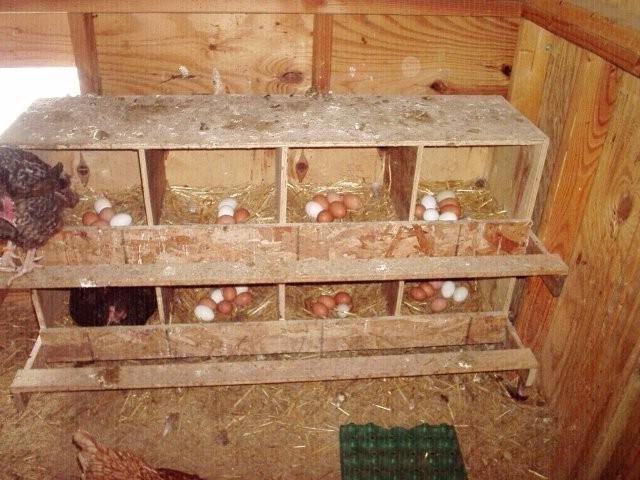 Кури клюють яйця: що робити