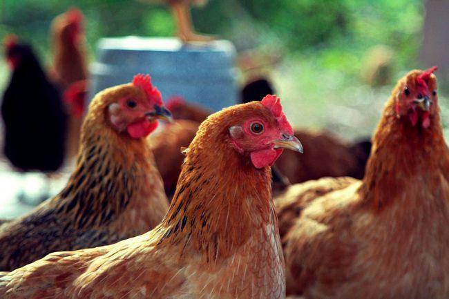 Чому кури клюють яйця?