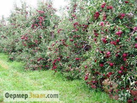 Чому влітку варто обрізати плодові дерева