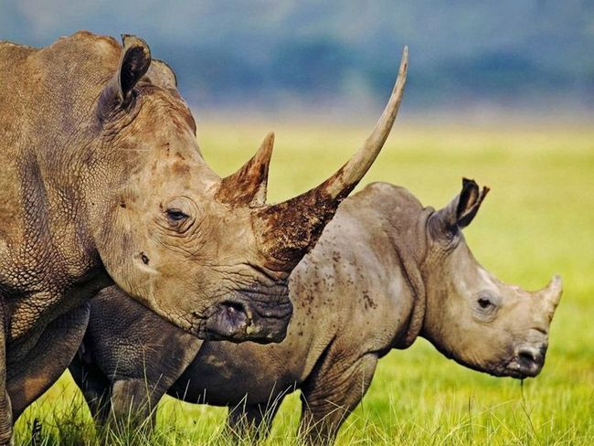 Білі носороги (Ceratotherium simum)