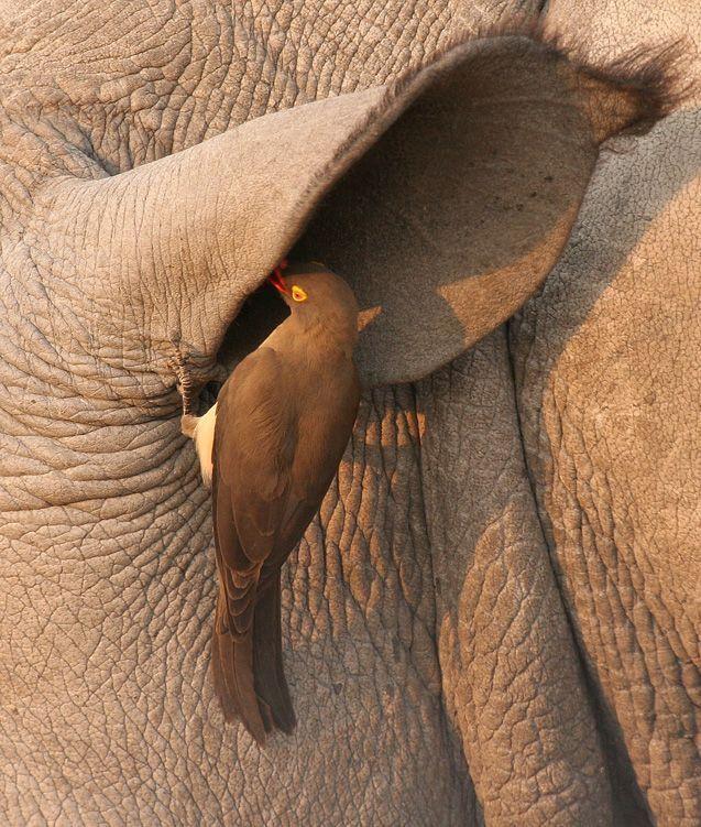 Волоклюй обстежує вухо носорога