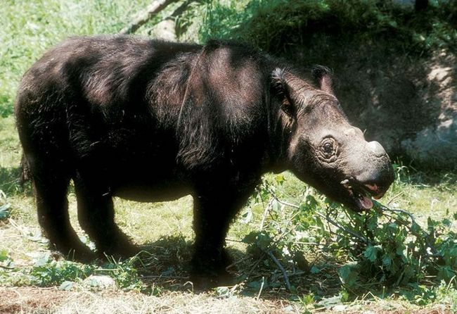 Молодий суматранський носоріг (Dicerorhinus sumatrensis)