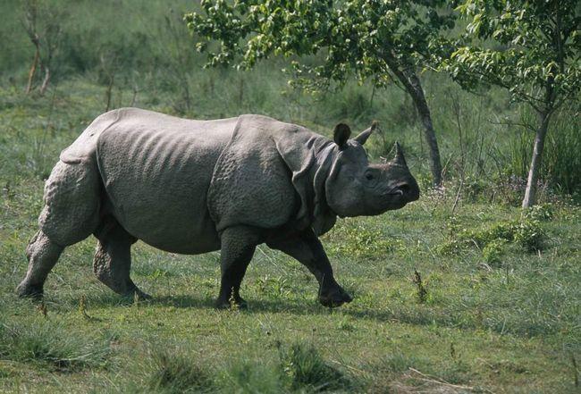 Яванський носоріг (Rhinoceros sondaicus)