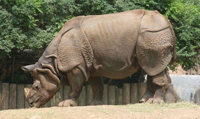 Індійський, або панцирний носоріг (Rhinoceros unicornis)