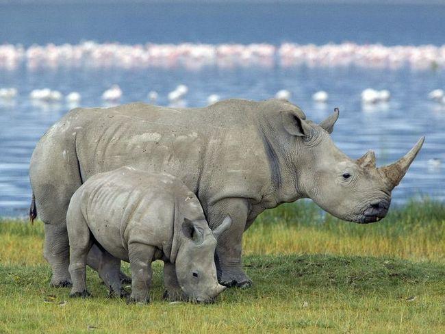 Самка білого носорога з дитинчам на березі озера Накуру.