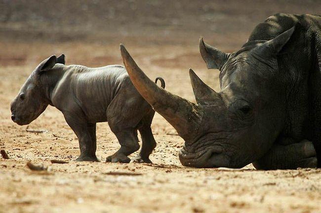 Самка чорного носорога (Diceros bicornis) з дводенним дитинчам