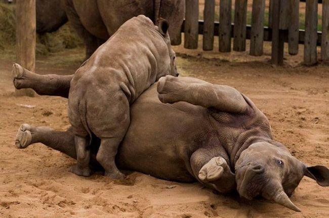 Підріс дитинча носорога грає зі своєю матір`ю