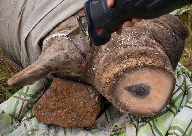 Ампутація рогів носорога