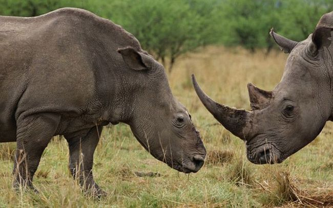 Носоріг після видалення роги.