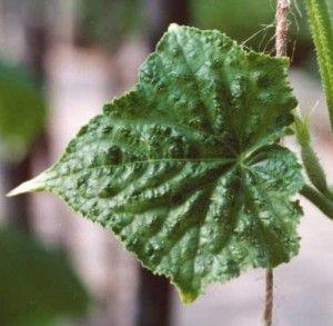 Чому скручуються листя огірків?