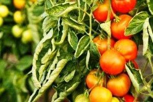 Чому скручуються листя у томатів?