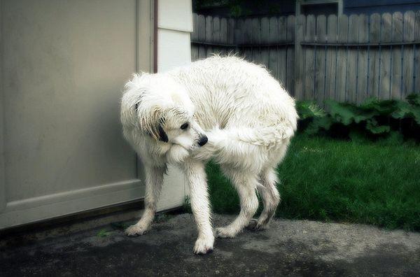 Погоня за власним хвостом у собаки може бути не стільки грою, скільки проявом неврозу нав`язливих станів