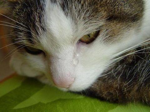 Чому у кішки можуть сльозяться очі і як це лікувати