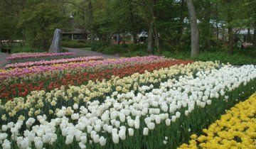 Клумба з квітучими тюльпанами, i.ua