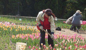 Процес розпушування тюльпанів граблями, 7dach.ru