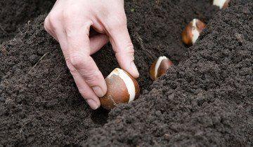 Пересадка тюльпанів восени, homester.com.ua