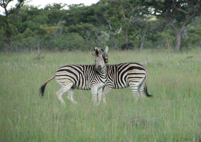 Справа в тому, що зебри живуть у відкритих саванах, де їх і так легко виявити. Але завдяки своїм контрастним смужках хижакові досить важко визначити точну відстань до них, особливо здалеку.