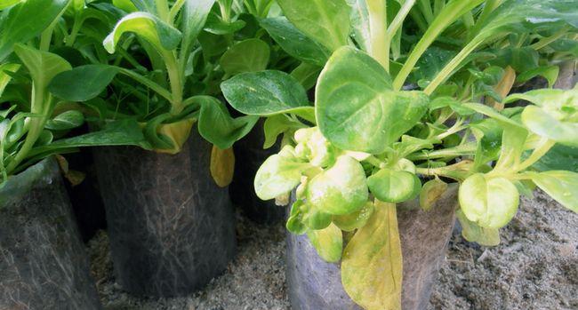 Чому жовтіє листя петунії?
