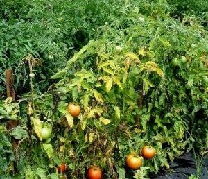 Чому жовтіє листя томатів?