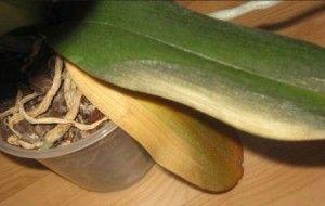 Чому жовтіє листя у орхідеї
