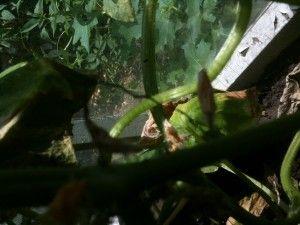 Чому жовтіють зав`язі у огірків?
