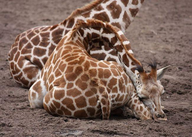 сплячий жираф