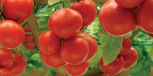 Підбірка скоростиглих сортів томатів