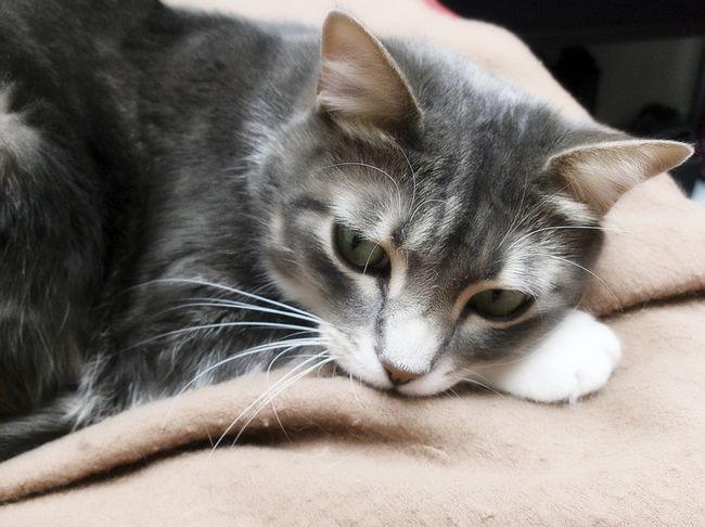 Кліщі у кішок - симптоми