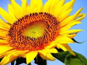 Соняшник як культура