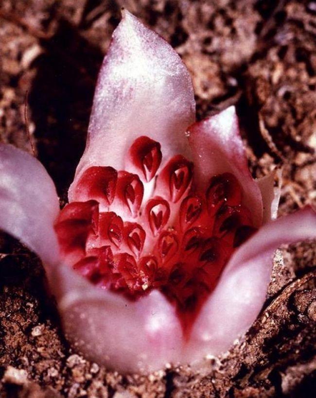 Підземна орхідея: різантелла гарднера (rhizanthella gardneri)