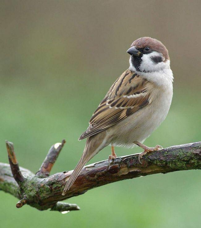 Польові горобці - стайня птиці, ведуть осілий або мандрівний спосіб життя.