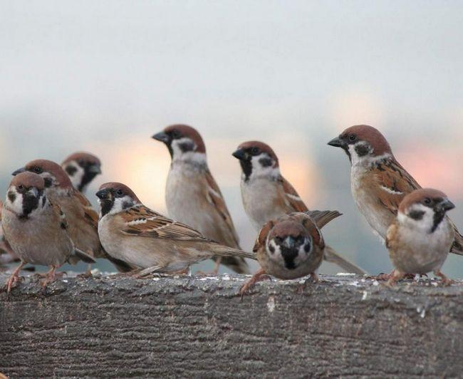 Цей вид птахів гніздиться в старих дуплах птахів і норах ссавців, а також в населених пунктах під дахами будинків.